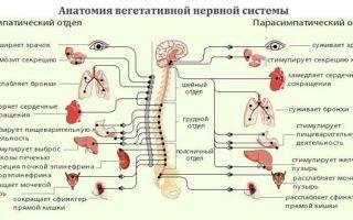 Вегето-сосудистая дистония: симптомы у взрослых