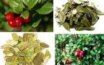 Брусничный лист при различных болезнях: полезные свойства и противопоказания