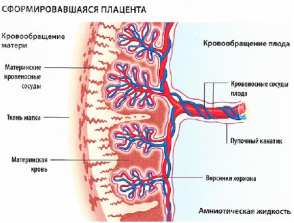 Причины и лечение преждевременного старения плаценты