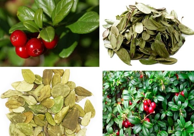 Листья брусники: лечебные свойства и противопоказания, как принимать