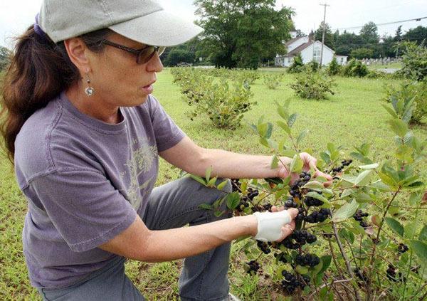 Какие лечебные свойства и противопоказания имеет черноплодная рябина
