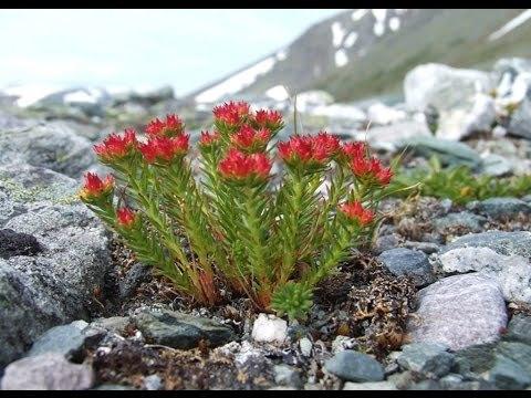 Трава красная щетка что лечит по женски