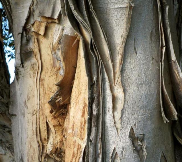 Кора осины: полезные свойства и ее противопоказания