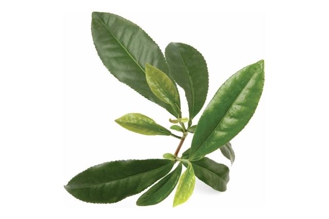 Учимся использовать масло чайного дерева от прыщей