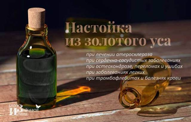 Растение Золотой ус: его лечебные свойства и противопоказания